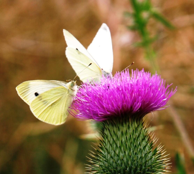 Schmetterlinge auf einer Distel