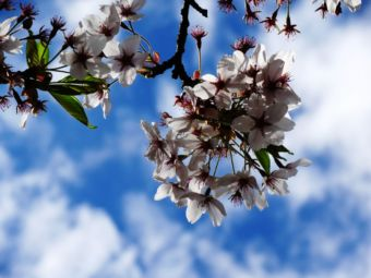 Kirschblüten am Himmel