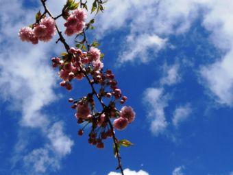 Japanische Kirschblüten Berlin Bornholmer