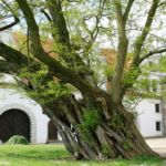 Alte Weide im Schlosshof Strehla